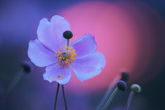Purple shades. In front of gentle sunlight. (Gudzwi) Tags: happybokehwednesday hbw abendrot freitagsblümchen fridayflower lila violett purple violet shading schattierung anemone anemonehupehensis herbstanemonen chineseanemone flower bokeh blue hour blossom blüte blume garten garden lowkey unschärfe blur blurry pentacon yellow orange blau blauestunde dämmerung twilight closeup macro makro macroorcloseup light lowlight gedämpfteslicht mysteriös mysterious magic magical magisch pink pentaconprakticar50mm118