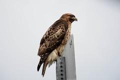 Hawk - Raptors (LauraJSwindle) Tags: 2019 nature girzzlyislandwildlifearea grizzlyisland ca northerncalifornia bird animal beak raptor hawk talon sign birds feathers tailfeathers accipitridae chordata