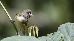 Espiguero Capuchino - Sporophila nigricollis (Gercoja) Tags: avifauna armenia quindio colombia birding green nature espiguero capuchino sporophila nigricollis
