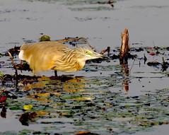 Squacco Heron (Ardeola ralloides) (Ron Fredrick) Tags: squacco heron ardeola ralloides water hunting botswana