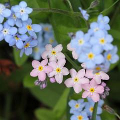 Myosotis sp. (JM Wild Flowers) Tags: prioryfields warwickshire forgetmenot myosotis boraginaceae