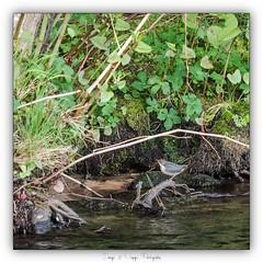 Pb_4250065 (calpha19) Tags: ngc imagesvoyagesphotography flickr flickrsexplore adobephotoshoplightroom olympusomdem1mkii zuiko 50200swd ed50200swd oiseaux deaux cincleplongeur lavologne rivière river grandest vosges