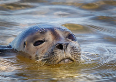 Seal Portrait (lablue100) Tags: sea water bay waves colors action animals animal head portrait seal mammal adorable nose love beach