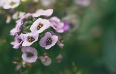 Alyssum (Sarah Rausch) Tags: macro flower alyssum garden sony 90mm