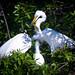 Great egret family at Venice Rookery, Venice, Florida
