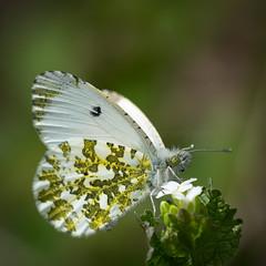 fragile (robvanderwaal) Tags: natuur macro nature netherlands closeup vlinder 2019 witje robvanderwaalphotographycom nederland oranjetipje