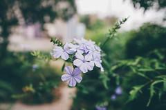 藍雪花 (aelx911) Tags: a7rii a7r2 sony carlzeiss fe35mm fe35mmf14 macro bokeh flower nature taiwan kaohsiung 台灣 高雄 藍雪花