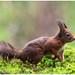 Red Squirrel - Eekhoorn (Sciurus vulgaris) ....