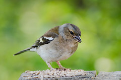 DSC_2516 (Clickingnan) Tags: somersetlevels rspb hamwall avalon marshes glastonbury birds