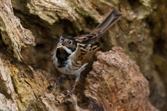 Reed Bunting (geoffacampbell) Tags: devon britishbirds travel coastalpath birds somersetlevels uk dates 2013 somerset emberizidae154buntings