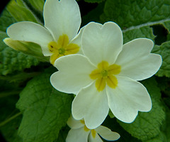 Primrose P1450099mods (Andrew Wright2009) Tags: garden flowers cultivated white primrose