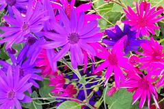 Senetti DSCN1625mods (Andrew Wright2009) Tags: flowers plants cultivated garden senetti mauve purple