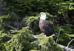 1DX14639 Bald Eagle. Ketchikan, Alaska (E.W. Smit Wildlife.) Tags: gitzo gitzotripod g1325mk2 gitzog1325mk2 gitzog1325mk2tripod wimberley wimberleygimbalheadwh200 wimberleygimbalhead wimberleywh200 gimbalhead ef500mmf4lisii ef500mmf4lisiiusm canonef500mmf4lisiiusm wildanimals tourist tourists telephotolens tripod unitedstatesofamerica usa outdoors outdoor supertelephotolens bird birds animal avian animals wildanimal canon nature wildlife canoneos1dx 1dx canon1dx canonef500mmf4lisii canonef14xextenderiii canonef14xiii eos1dx park parks canonef500mmf4lisiiusm14xiii canonef500mmf4lisii14xiii ef500mmf4lisii14xiii ef500mmf4lisiiusm14xiii 14xiii canonef14xextenderii eagle ketchikan ketchikanalaska baldeagle alaska