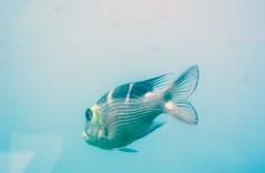 (Cindy en Israel) Tags: pez animal fauna mar agua celeste aletas eilat israel acuario turismo travel tour paseo viaje