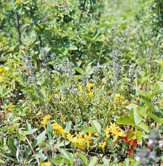 Acinos arvensis (LAM.) DANDY Feld-Steinquendel, Gemeiner Steinquendel Basil thyme, Spring savory (Spiranthes2013) Tags: scan kfwolfstetter deutschland diaarchiv pflanze pflanzendias plant germany lkmiltenberg bavaria bayern becker 6x6dia 6x6 1991 acinos acinosarvensis euasteriden euasterids lippenblütlerartige lamiales lippenblütler lamiaceae nepetoideae steinquendel plantae angiospermen angiosperms eudicots eudicosiden asteriden asterids acinosarvensislamdandy feldsteinquendel gemeinersteinquendel basilthyme springsavory