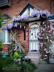 Glorious Spring (SFB579 Namaste) Tags: wisteria house building dwelling door gate floral flower colours color plants horticulture garden gardening spring seasons wakefield outwood yorkshire