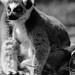 parc des félins - Maki catta (Lemur catta)