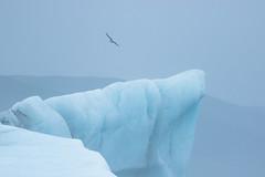 Jökulsárlón Gull (craig.denford) Tags: jökulsárlón glacial lagoon iceland craig denford canon 7d mark ii manfrotto