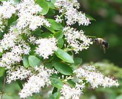 Bumblebee (Reid2008) Tags: bumblebee privet
