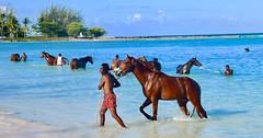 Bridgetown Barbados (mikeginn12000) Tags: barbados racehorses horses ocean sea bridgetown swim canon