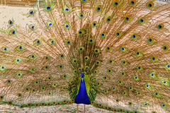Peacock in Simi Valley California (lilsin_805) Tags: eacockfeathers peacockfeathertattoo peacockfeathersforsale peacockfeathermeaning peacockfeatherdrawing peacockfeatherpainting peacockfeatherearrings peacockfeathersaj peacockfeathersmichaels peacockfeatherclipart peacockfeathercolors peacockfeatherfan peacockfeathersbackground peacockfeathersymbolism peacockfeatherart peacockfeatherdress peacockfeatherwallpaper peacockfeathersvg peacockfeatherpng peacockfeatherdesign birdphotographyworkshops birdphotographylens birdphotographytips birdphotographylosangeles birdphotographycontest birdphotographysettings birdphotographyforum birdphotographycompetition birdphotographyequipment birdphotographycamera birdphotographynearme birdphotographytutorial birdphotographybook birdphotographyhashtags birdphotographytours birdphotographywebsites birdphotographywithiphone birdphotographymagazine birdphotographyblog birdphotographyquotes tamron18400mm tamron18400review tamron18400nikon tamron18400mmf3563 tamron18400mmnikon tamron18400lens tamron18400mmlens wildlifephotographytips wildlifephotographycamera wildlifephotographylens wildlifephotographydefinition wildlifephotographygear wildlifephotographyhashtags wildlifephotographyinternship wildlifephotographysettings wildlifephotographyworkshops wildlifephotographyforsale wildlifephotographycontests2019 wildlifephotographyclasses wildlifephotographymagazine wildlifephotographyblinds wildlifephotographynearme wildlifephotographybooks