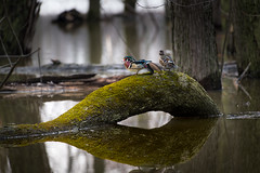 Couple (martinmenard757) Tags: couple martin menard canard branchu reflexion printemps sauvage nature