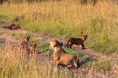 Everyone Settle Down - I Need a Nap ! (Jill Clardy) Tags: africa kenya vantagetravel safari 201902269l8a2084 location tanzania transmara riftvalleyprovince mama female lion lioness cubs nursing road path morning sunlight grass savanna grasses three triplets yawning maasai mara reserve national park triangle
