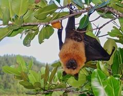 Seychelles Fruit Bat