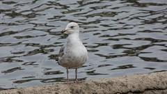 Gull (Deanne Wildsmith) Tags: durham northumberland bird gull earthnaturelife