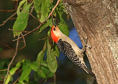 Red-bellied Woodpecker (hennessy.barb) Tags: melanerpescarolinus redbelliedwoodpecker woodpecker bird