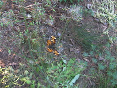 Milkweed and butterfly (VampWriterGRRL) Tags: milkweed butterfly orangebutterfly northcarolina