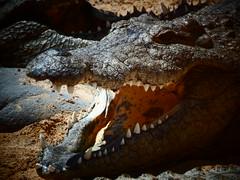 Crocodiles/Alligators - Oasis Park. (mikala.aldridge) Tags: fuerteventura zoo oasispark animals outdoors nature alligator crocodile