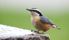 Red-breasted Nuthatch (Michael Woodruff) Tags: redbreasted nuthatch redbreastednuthatch sittacanadensis sitta canadensis spokane