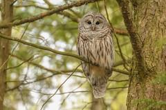 Barred Owl (Rob E Twoo) Tags: