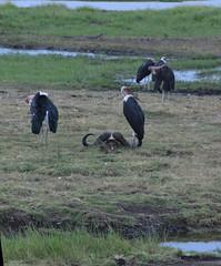 DSC_3331 (Marshen) Tags: mariboustork carcass capebuffalo botswana