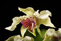 [Normanby Island, Papua New Guinea] Dendrobium atroviolaceum Rolfe, Gard. Chron., ser. 3, 7: 512 (1890)