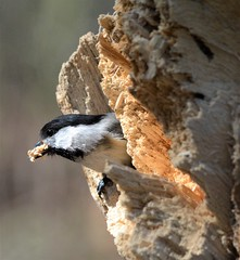 Black Capped Chickadee (primpenny1) Tags: blackcappedchickadee bird nest wildlife nature