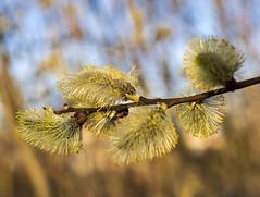 Willow catkin / Ивовые сережки (dmilokt) Tags: природа nature пейзаж landscape гора dmilokt весна spring