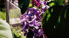 Lilac (Anna Gelashvili) Tags: flower цветочки garden сад цветок flowers plant lilac сирень цветы ყვავილი ყვავილები ფოთლები soil растение leaf bright лист яркий