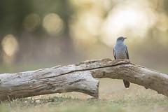 Common Cuckoo (Daniel Trim) Tags: cuckoo common colin cuculus canorus bird nature wildlife birding thursley national reserve surrey heath