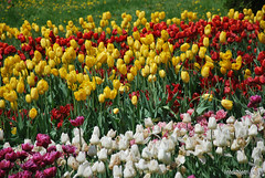 Київ, Співоче поле, тюльпани Травень 2019 InterNetri Ukraine 031