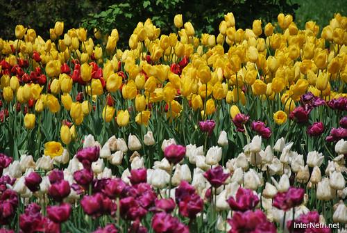 Київ, Співоче поле, тюльпани Травень 2019 InterNetri Ukraine 029