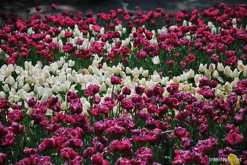 Київ, Співоче поле, тюльпани Травень 2019 InterNetri Ukraine 023