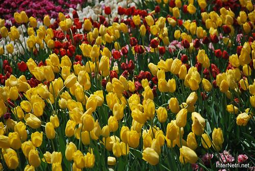 Київ, Співоче поле, тюльпани Травень 2019 InterNetri Ukraine 021