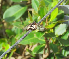 Acraea andromacha 4 (mncsite) Tags: barry m ralley barrymralley sea acres national park nature reserve port macquarie nsw acraea andromacha glasswing small greasy