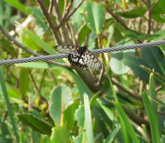 Acraea andromacha 2 (mncsite) Tags: barry m ralley barrymralley sea acres national park nature reserve port macquarie nsw acraea andromacha glasswing small greasy
