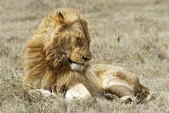 King of animals - Ngorongoro Crater - Tanzania (tivitto) Tags: tanzanie tanzania ngorongoro lion animal africa afrique safari