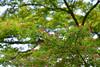 20190503_013_2 (まさちゃん) Tags: 紅葉 実 紅葉の実