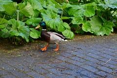 Stockente geht spazieren (marc.jo71) Tags: orte europa deutschland natur tiere vögel ente stockenten hamburg wasservögel gärten hhaltona lokischmidtgarten