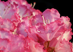 pink rhododendrons (Christine_S.) Tags: flowers blossoms flower spring シャクナゲ canon mirrorless eos m5 closeup blackbackground japan garden nature ef100mm